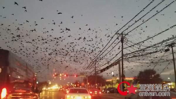 美国飞鸟遮蔽天空 再现惊栗电影大师希治阁的《鸟》